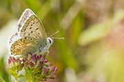 Chalkhill blue butterfly (Polyommatus coridon). Isle of Purbeck, Dorset, UK.