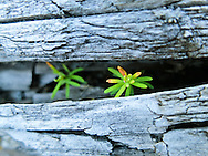 Western Hemlock seedlings pushing up through a large drift log on the Hoh River, Olympic National Park