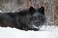Resting wild black wolf in winter