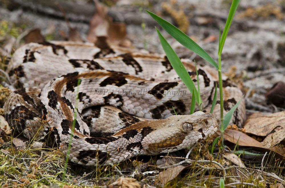 Canebrake or Timber Rattlesnake (Crotalus horridus) Juvenile CAPTIVE<br /> The Orianne Indigo Snake Preserve<br /> Telfair County. Georgia<br /> USA<br /> HABITAT & RANGE: Coastal Habitat. South Eastern USA