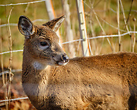 Young Doe. Image taken with a Fuji X-T2 camera and 100-400 mm OIS lens (ISO 640, 400 mm, f/5.6, 1/640 sec).