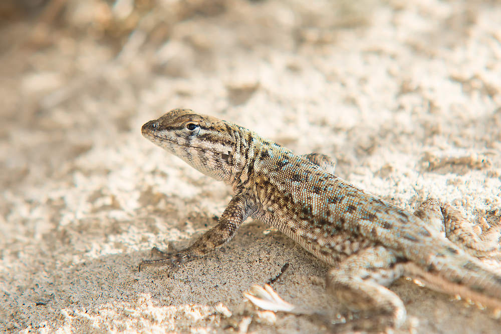 The plateau side-blotched lizard (Uta stansburiana uniformis) is one of five distinct subspecies of the side-blotched lizard found across the western United States, found only in Eastern Utah, Western Colorado, Northeastern Nevada and the extreme northwestern tip of New Mexico. Unlike its boldly-patterned cousins found to the south, west and southwest, the plateau side-blotched lizard tends to have a more spotted pattern, characterized by many tiny blue spots, unique to this subspecies. This one was photographed on Utah's Antelope Island, an island near Salt Lake City which lies near the southeastern shore of Great Salt Lake.
