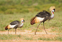 Crown Crested Cranes marching on in Samburu National Reserve, Kenya.