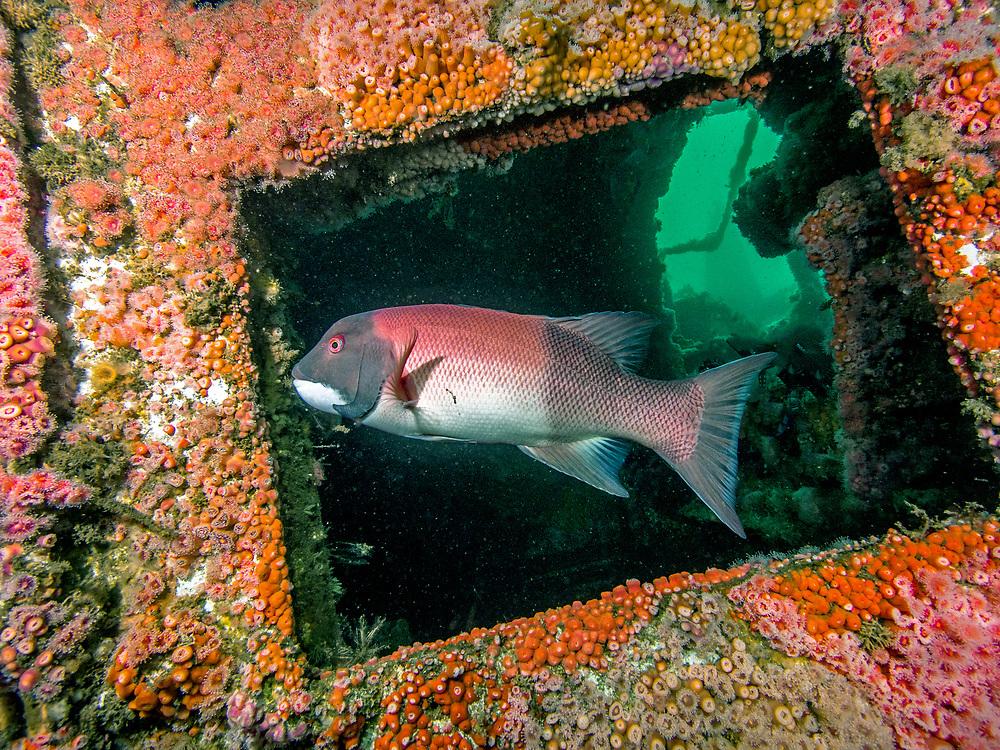 ''HMCS Yukon'' Shipwreck, California sheep head