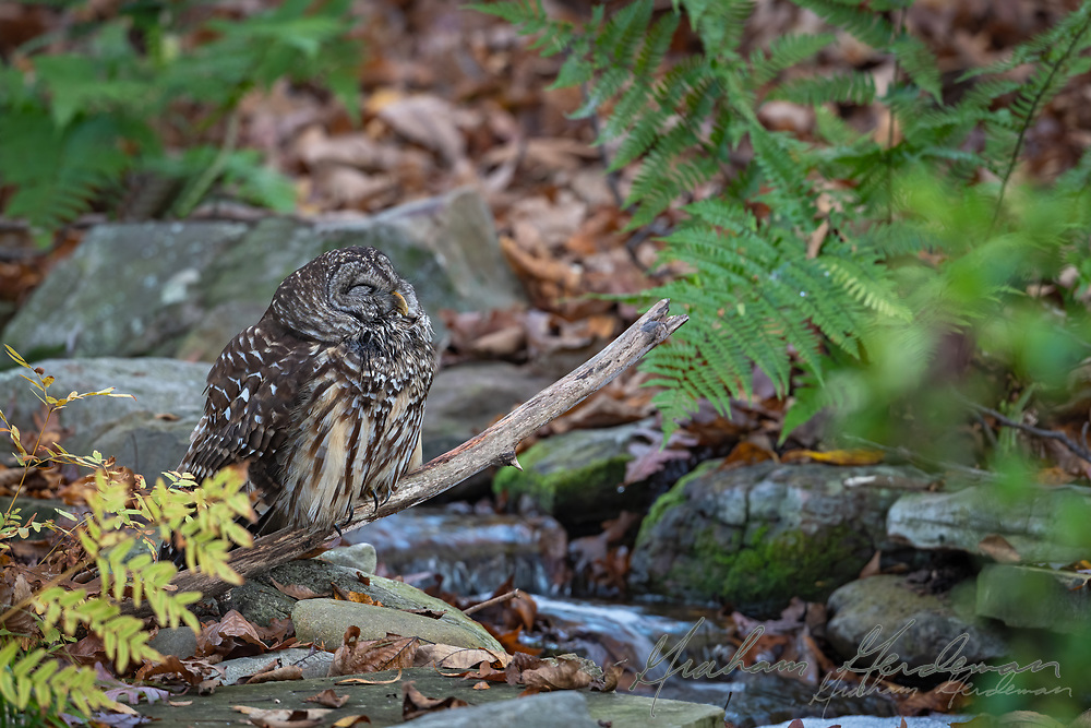 Barred Owl (Strix varia) resting in the early morning.