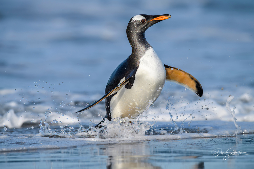 Gentoo penguin (Psygoscelis papua) Emerging from surf to return to colony, Sea Lion Island, East Falkland, Falkland Islands