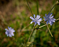 Chicory Flower. Image taken with a Nikon D2xs camera and 105 mm f/2.8 macro lens.
