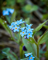 Blue Forget-me-Not. Image taken with a Nikon N1V3 camera and 70-300 VR lens (ISO 640, 300 mm, f/5.6, 1/640 sec).