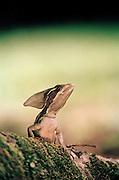 Basilisk lizard, commonly known as Jesus Christ lizard, Tortuguero National Park, East Coast, Tortuguera, Limon, Costa Rica