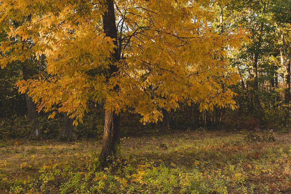 A foliage covered tree standing within a cleaning of Minuteman National Park on an autumn afternoon.