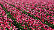 Fields of tulips at Lisse, the Netherlands