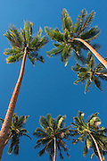 Coconut Palms<br /> Savusavu Bay <br /> Vanua Levu<br /> Fiji. <br /> South Pacific
