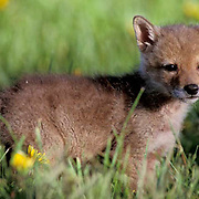 Coyote, (Canus latrans) Portrait of young pup in meadow of blooming dandelions. Montana. Spring. Captive Animal.