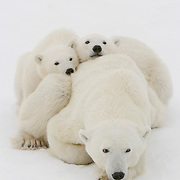 Polar Bear cubs of the year waiting patiently near their mother for the ice to freeze at Cape Churchill, near Churchill, Manitoba, Canada.