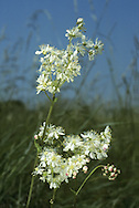DROPWORT Filipendula vulgaris (Rosaceae) Height to 50cm<br /> Attractive perennial that is similar to Meadowsweet but characteristic of calcareous grassland. FLOWERS are 10-20mm across, unscented, creamy white above and reddish below; borne in flat-topped sprays (May-Aug). FRUITS are downy. LEAVES comprise 8-20 pairs of large leaflets with smaller leaflets between. STATUS-Widespread but local.