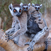 Ring-tailed lemur mother with two babies. Twins are very rare. Berenty Reserve, Madagascar