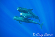 adult and juvenile short-finned pilot whales, Globicephala macrorhynchus, swimming through open ocean, Kona, Hawaii ( the Big Island ), U.S.A. ( Central Pacific Ocean )