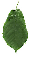 Wych Elm Ulmus glabra Ulmaceae Height to 40m<br /> Spreading tree. Bark Cracked and ridged with age. Branches Main ones spreading. Young twigs have stiff hairs. Leaves Oval, to 18cm long, with tapering tip. Unequal base extends beyond petiole. Reproductive parts Fruits papery, to 2cm long. Status Widespread but much reduced by Dutch Elm Disease; large trees seldom seen nowadays.