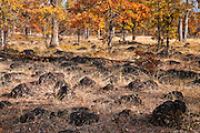 Autumn in Garry Oak(Quercus garryana), forest with a volcanic boulder field deposited by lava flows southeast of Mount Adams in Klickitat County, WA, USA