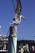 Pelican, Key West, Florida<br />
