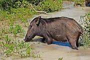 Female wild boar wallowing in muddy pool, Yala National Park, Sri Lanka