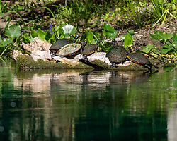 Turtles basking in the sun on the Silver River in Ocala Florida.