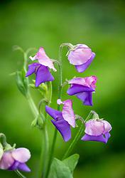 Lathyrus odoratus 'Erewhon'. Sweet pea