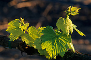Young grape leaves in spring, vineyards of the Carneros Region Napa County, California