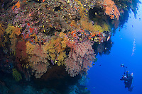 Soft Corals and Diver on Reef Wall