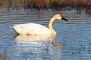A tundra swan (Cygnus columbianus) swims in a marsh located in the Ridgefield National Wildlife Refuge in Ridgefield, Washington. Hundreds of tundra swans spend part of the winter in Ridgefield, feeding on aquatic plants and mollusks.