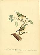 Sucrier gamtocin, ou le Sucrier à cordon bleu from the Book Histoire naturelle des oiseaux d'Afrique [Natural History of birds of Africa] Volume 6, by Le Vaillant, Francois, 1753-1824; Publish in Paris by Chez J.J. Fuchs, libraire 1808