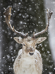 © Licensed to London News Pictures. 24/01/2021. London, UK. A stag stands in a snowy Bushy Park in south west London. A band of snow is crossing the south east this morning as temperature remain just above freezing. Photo credit: Peter Macdiarmid/LNP