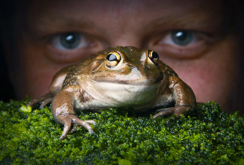 Melbourne Water have undertaken a frog census that will launch next week. Animal keeper Colin Silvey at Melbourne Museums wild frog exhibit with a Banjo Frog  Pic By Craig Sillitoe 06/01/2011 melbourne photographers, commercial photographers, industrial photographers, corporate photographer, architectural photographers, This photograph can be used for non commercial uses with attribution. Credit: Craig Sillitoe Photography / http://www.csillitoe.com<br /> <br /> It is protected under the Creative Commons Attribution-NonCommercial-ShareAlike 4.0 International License. To view a copy of this license, visit http://creativecommons.org/licenses/by-nc-sa/4.0/.