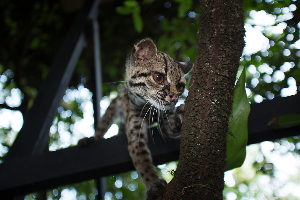 An older captive female Margay ( Felis wiedii ) comes gown to the camera for a closer look.