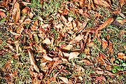 Brown autumn leaves fallen on green grass leaf litter, UK