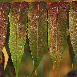 Waitsfield, VT..Staghorn Sumac, Rhus typhina, leaves in fall...