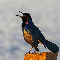 Southeast Florida bird photography from nature photographer Juergen Roth showing a Grackle at Arthur R. Marshall Loxahatchee National Wildlife Refuge in Palm Beach County, FL.  <br /> <br /> Grackle birds photography images from the Arthur R. Marshall Loxahatchee National Wildlife Refuge are available as museum quality photo prints, canvas prints, wood prints, acrylic prints or metal prints. Fine art prints may be framed and matted to the individual liking and decorating needs:<br /> <br /> https://juergen-roth.pixels.com/featured/grackle-bird-juergen-roth.html<br /> <br /> All digital nature photo images are available for photography image licensing at www.RothGalleries.com. Please contact me direct with any questions or request.<br /> <br /> Good light and happy photo making!<br /> <br /> My best,<br /> <br /> Juergen<br /> Prints & Licensing: http://www.rothgalleries.com<br /> Instagram: https://www.instagram.com/rothgalleries<br /> Twitter: https://twitter.com/naturefineart<br /> Facebook: https://www.facebook.com/naturefineart