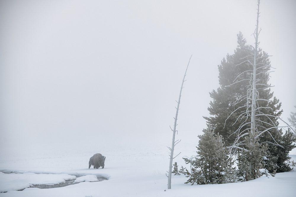 A bison emerges from the snowy whiteness in Yellowstone national park.