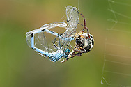 Orb-web Spider - Zygiella x-notata - with damselfly prey