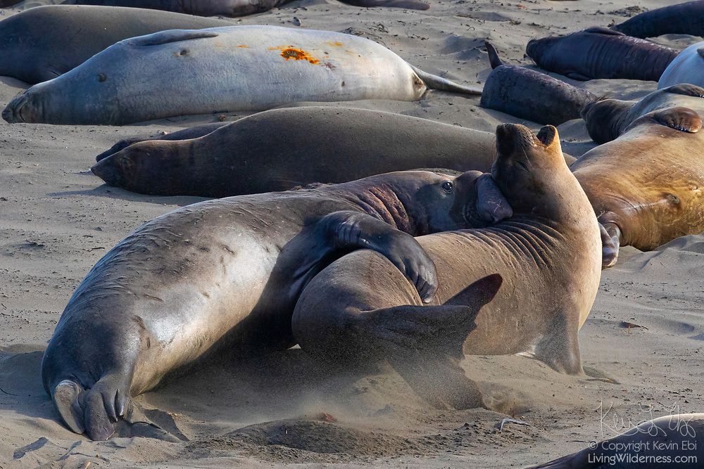 Two elephant seals (Mirounga angustirostris) prepare to mate on the beach at the Piedras Blancas Elephant Seal Rookery near San Simeon, California. Elephant seals typically spend 9 months at sea, coming to shore only to give birth, mate and molt. Elephant seals are named for the long snouts, called proboscis, that male seals develop. The Piedras Blancas Elephant Seal Rookery is part of the Piedras Blancas State Marine Reserve and Marine Conservation Area, managed by California.