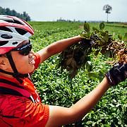 Win Jalawin pulls peanuts from a local crop along the Padang Trail near Chiang Dao, Thailand.