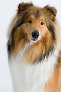 Ladies Kennel Association<br /> 2008 Championships<br /> Rough Collie (Coco Chanel)<br /> Owner Paulette & George Wilson