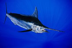 Indo-Pacific blue marlin, aka au in Hawaiian and kajiki in Japanese, Makaira nigricans, Kona Coast, Big Island, Hawaii, USA, Pacific Ocean, digital composite