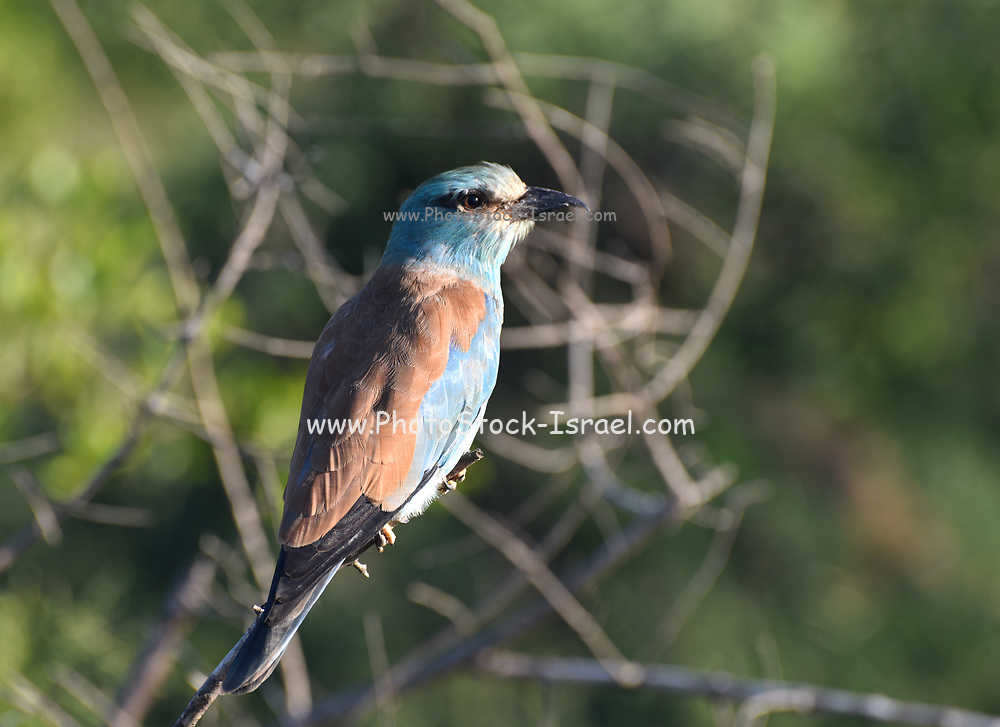 Lilac-breasted roller (Coracias caudatus). Photographed in Kruger National Park in February
