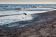 A great blue heron hunts for fish on the  the beach at  Bon Secour National Wildlife Refuge.<br /> Oil on the shore at Bon Secour National Wildlife Refuge , in  Alabama on June 12, 2010 is the worst it has been since the BP well started leaking on April 20, 2010