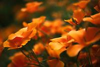 A field of beautiful California Poppies.