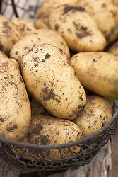 Potato 'Sharpe's Express' harvested into a wire basket