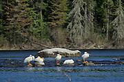 American White Pelican (Pelecanus erythrorhynchos) on Wenesaga River<br /> Ear Falls<br /> Ontario<br /> Canada