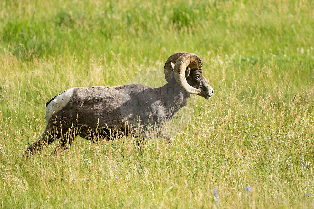A male Bighorn sheep ram walks through a mountain meadow in the Rocky Mountain National Park in Estes Park, Colorado.
