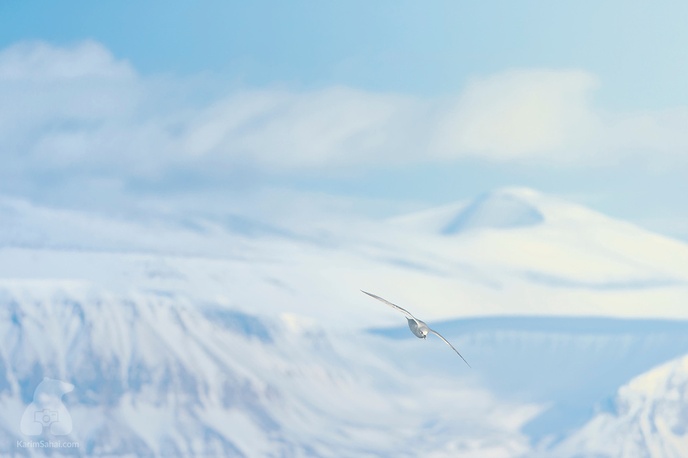 The birds are back, the Sun is high, the air is crisp, the landscape frozen. It's a beautiful day in Svalbard.